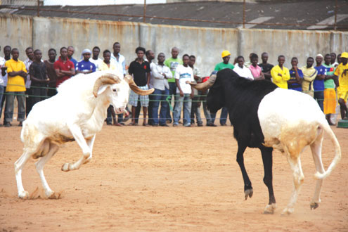 Lagata Ram from Surulere (left) engages Erugale of Ijede during weekend's Ram tournament in Oshodi, Lagos. Lagata won 12-11 points.. Photo: Akin Farinto