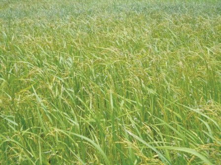 Rice field: Edo farmers speak of bumper harvest