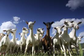 goats: alleged thief sent to jail