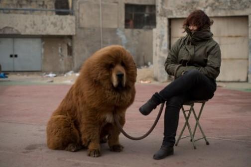 A Tibetan Mastiff dog: asking price just $750,000!