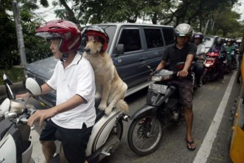 Handoko Njotokusumo and his dog, Ace ride through traffic. AFP Photo