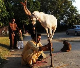 PAKISTAN-SOCIETY-ANIMAL