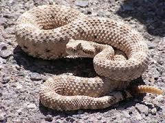 a rattle snake
