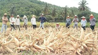 Harvested cassava