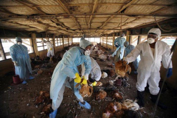 culled birds: bird flu