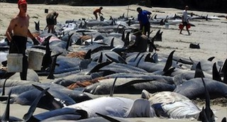 Volunteers-pour-buckets-of-water-over-the-80-remaining-live-pilot-whales-found-stranded-on-remote-Ocean-Beach-on-New-Zealands-Stewart-island