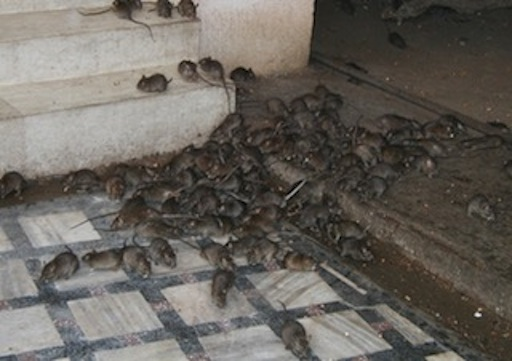 Rats: primary carriers of Lassa fever virus