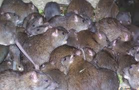 Rats, the primary vector of Lassa fever virus