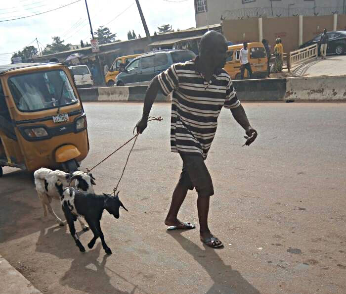 taking goats for a walk