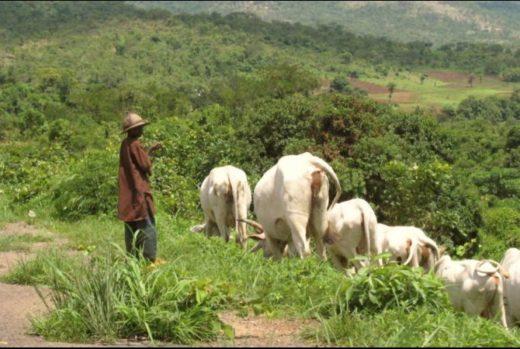 cattle-grazing1