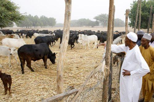 buhari farmer 1