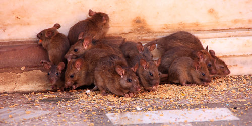 Some rodents feeding on human food