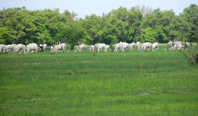 cattle_grazing_herdsmen