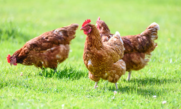 Avian flu: Thousands of birds have died in Niger State. Photo: CDC