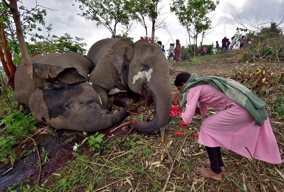 Indian-Elephants