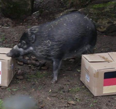 Elvis the pig predicting outcome of England v Germany