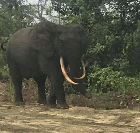 Elephant sighted at Ikuru Community, Rivers